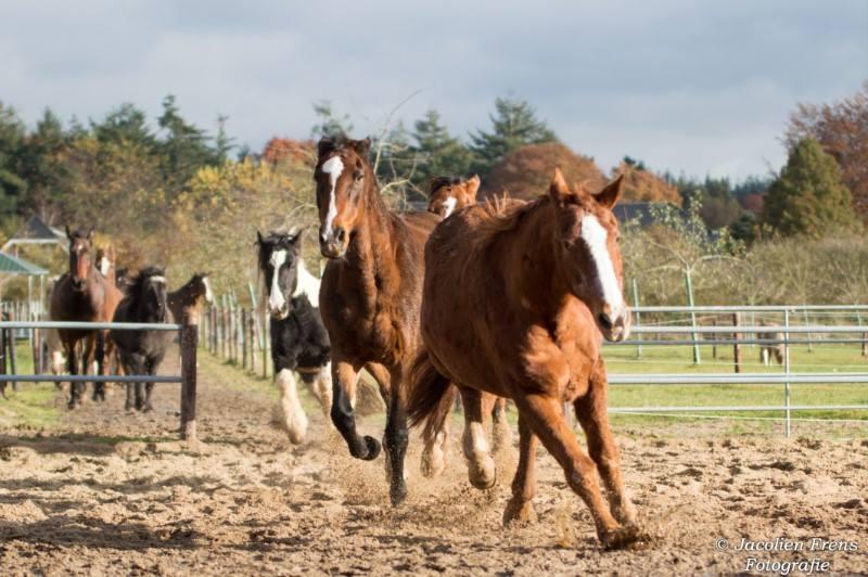 Paarden voelen zich fijn en blijven gezonder in vrije loopstal systeem