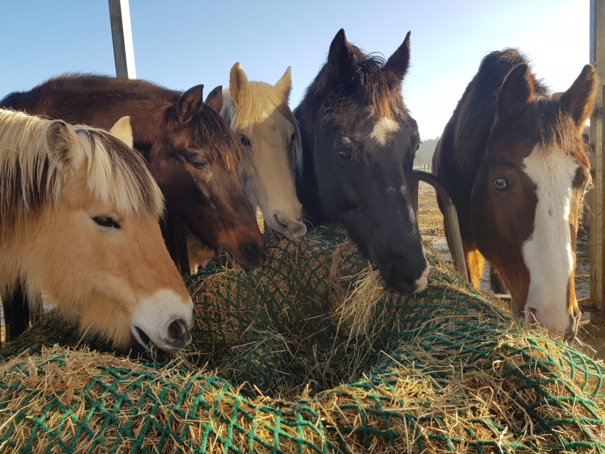 De paarden tijdens de verbouwing